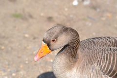 Goose portrait Royalty Free Stock Photography