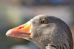 Goose portrait. Domestic Goose, Greylag Goose in winter Stock Image