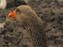 Goose portrait. Portrait of a domestic goose on a muddy day Royalty Free Stock Photography