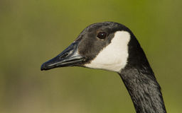 Goose portrait Royalty Free Stock Images