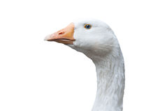 Goose portrait isolated Royalty Free Stock Image