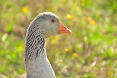 Goose portrait Stock Images