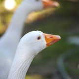 Goose portrait Royalty Free Stock Image