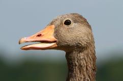 Goose portrait Stock Photography