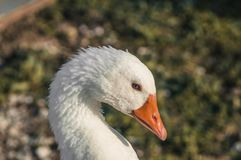 Goose walking on the lawn stock images