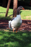 Goose. Pretty White grey goose in a park Royalty Free Stock Photo