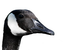Goose Profile Stock Photos