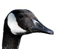 Free Goose Profile Stock Photos - 11844503