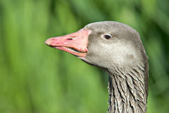 Goose Profile Royalty Free Stock Images