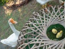 Goose Protect gosling near Kiosks Royalty Free Stock Photography