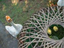Goose Protect gosling near Kiosks Stock Photos