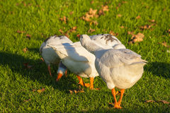 Goose protecting it's flock Stock Photos