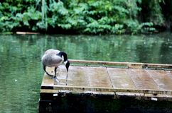 Goose In The Rain Royalty Free Stock Images