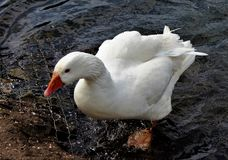Goose at Reddish Vale Stock Image