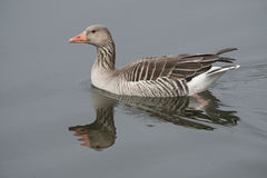 Goose reflected in water Royalty Free Stock Photography