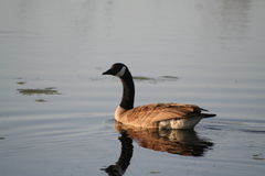 Goose reflecting on lake Stock Photos