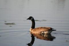 Goose reflecting on lake. Side portrait of goose reflecting on lake at twilight Stock Photos