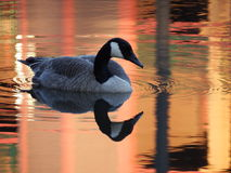 Goose and Reflection on Orange Pond. A Canada Goose floats on a pond through reflections of buildings at dusk stock photography