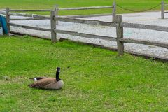 A goose resting but also being attentive stock photo