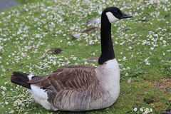 Goose. A goose resting on daisy covered grass Stock Images