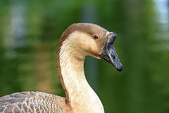 Goose. Resting in front of the green waters of a lake Royalty Free Stock Images