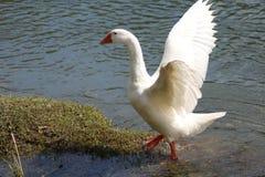 A goose Stock Photos