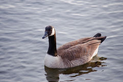 Goose on a river Stock Photo