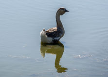 Goose on the river Stock Photos