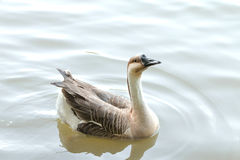 Goose. On the river and looking for something Stock Photography