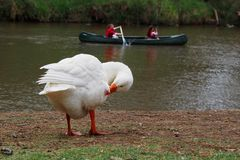 Goose by the River. White Goose by the River while canoe goes by Stock Image