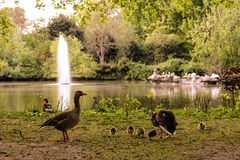 Goose`s family. 2017 England, London in park Stock Photography