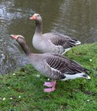 Goose's Stock Images