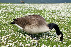 Goose searches for food in a field of daisies. Canadian goose searches for food in a field of daisies Royalty Free Stock Photo
