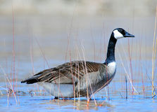 Goose in shallow water. A view of a Canadian goose feeding on grass in shallow water Royalty Free Stock Images