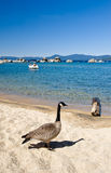 Goose by shore of Lake Tahoe Stock Photo
