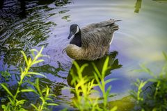Goose on a shore. Overhead view of a goose on the shore of a lake Stock Photo