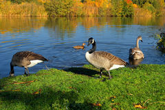 Goose on the shore screaming.Sweden Royalty Free Stock Photos