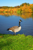 Goose on the shore screaming.Sweden Royalty Free Stock Photography