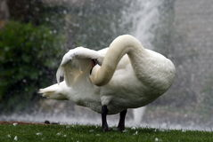 Goose showing the flexibility of its neck. The Goose is showing how flexible and twisty its neck can get by picking stuff from underneath its own wing royalty free stock photo
