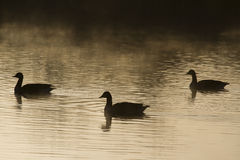 Goose Silhouette Stock Image