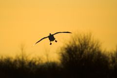 Goose silhouette. Goose in a landing position Stock Photos