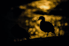 Goose silhouette against the moonlight reflected in water Royalty Free Stock Photography