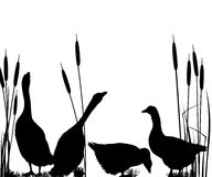 Goose silhouettes. Over white background Royalty Free Stock Images