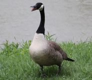 Goose. This goose is singing a song Stock Photo