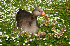 Goose Sitting in a Field of Flowers Royalty Free Stock Images