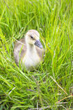 The goose sitting in a grass Stock Photo