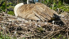 A goose sitting on her nest royalty free stock images