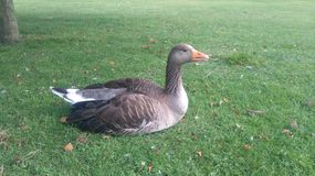 Goose sitting on a lawn. In a country park. Summer photo. Nature Stock Photography