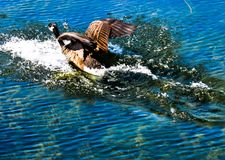 Goose skimming water. Goose skimming across water upon landing on sunny day Royalty Free Stock Image