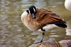 Goose sleeping Stock Image